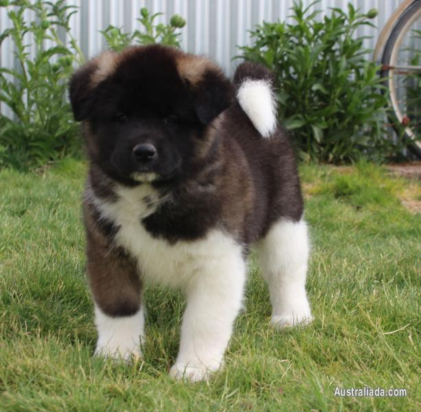 Most affectionate Akita Puppies now ready for new homes