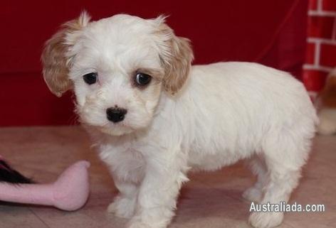 Cavachon Puppies For Sale