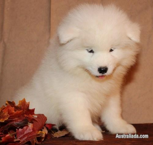 Healthy Samoyed puppies for sale | Dogs / Puppies for sale